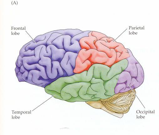 Table of Contents - Anatomy of the Brain